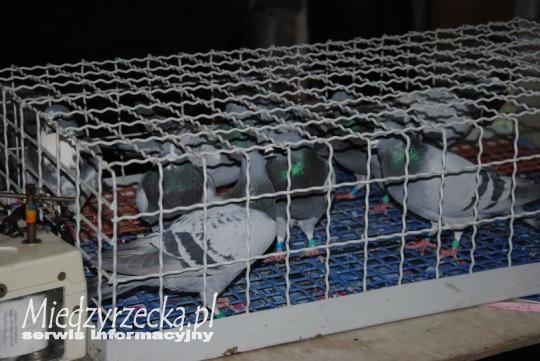 03.05.2014 r. - pierwszy lot gołębi dorosłych
